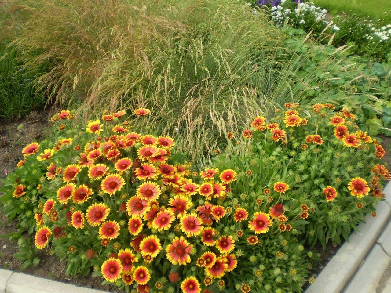 Фото и цены многолетних садовых цветов